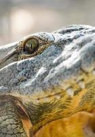 occhi e denti del primo piano del coccodrillo foto