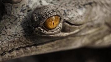 occhio di un coccodrillo rapinatore nel parco nazionale di chitwan foto