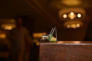 bug di cricket foto