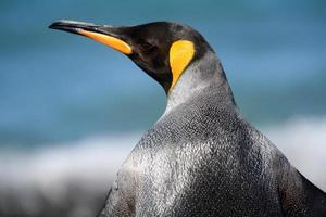 re pinguino che osserva sopra la spalla foto