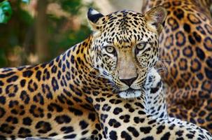 primo piano di un leopardo con macchie marroni e gialle foto