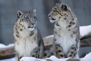 due leopardi delle nevi chiamati fiocco di neve e makalu foto