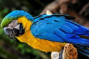 pappagallo brasiliano foto