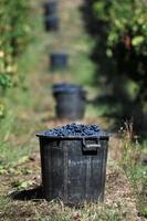 vinhas, vindima e vinho, foto