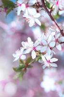 albero di fiori di ciliegio foto