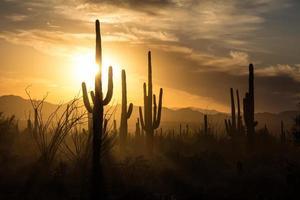 Saguaro sagome di cactus contro i cieli del tramonto dorato, Tucson, az foto