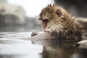 tempo di toelettatura - scimmia giapponese della neve foto