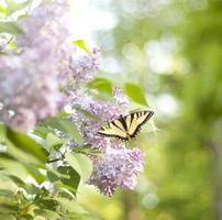 farfalla di primavera foto