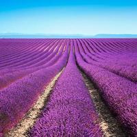file infinite di campi fioriti di fiori di lavanda. valensole provence foto