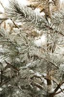 abete in inverno foto