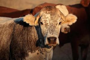 ritratto di mucca foto