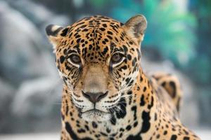 giaguaro (panthera onca) foto