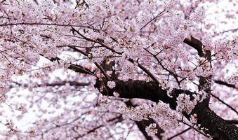 bellissimi fiori di sakura a busan, corea del sud foto