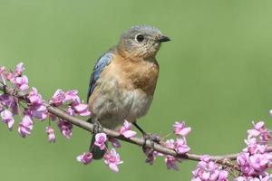 uccello azzurro orientale femminile foto
