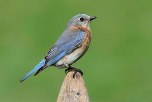 uccello azzurro orientale femminile