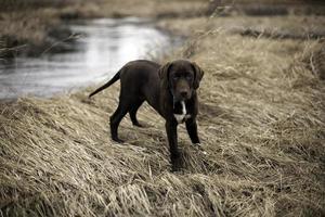 cane da caccia