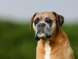 cane boxer di razza foto