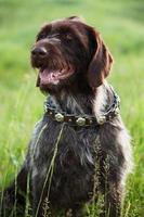 puntatore dai capelli corti razza cane da caccia è seduto