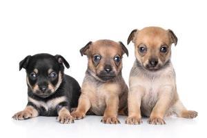 cuccioli di chihuahua su uno sfondo bianco