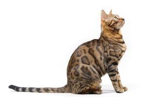 gatto del Bengala che osserva in su foto