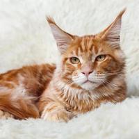 gatto di procione lavatore rosso maine rosso sulla pelliccia del fondo bianco