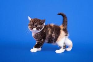 gatto di razza scozzese foto