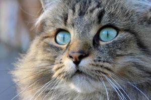 il grazioso gatto norvegese foto