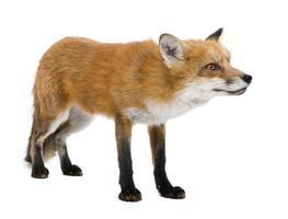volpe rossa (4 anni) foto