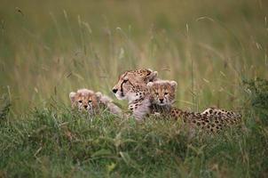 leone e cuccioli africani