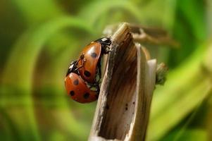 coppia di coccinelle fare l'amore sul ramo, sfondo verde