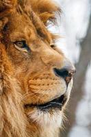 leone maschio in porfile foto
