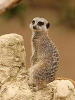 meerkat foto