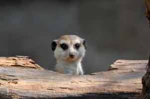 meerkat che fa capolino