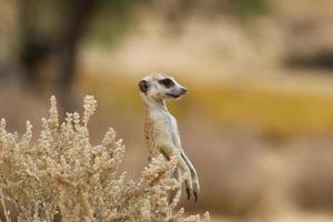 fauna selvatica-suricate foto
