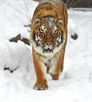 tigre dell'amur foto