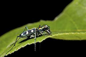 scarabeo di tigre foto