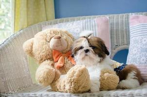 carino cucciolo shih tzu è seduto sul divano
