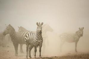 Zebra in piedi nella polvere, Serengeti, Tanzania, Africa foto