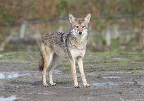 coyote foto
