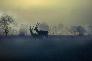 mattina nebbiosa con blackbucks foto