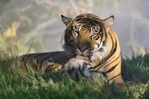 toelettatura della tigre foto