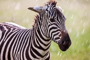 zebra di pianure africane sui prati marroni asciutti della savana marrone che passano in rassegna