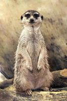 meerkat (suricata suricatta) in piedi guardando la telecamera