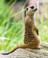 il meerkat foto