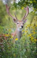 cervo di whitetail