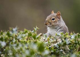 scoiattolo grigio (sciurus carolinensis)
