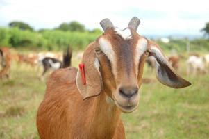 primo piano di una capra marrone foto