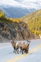 grandi pecore cornute foto