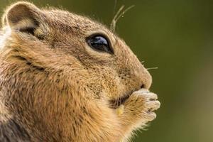 scoiattolo a terra che mangia una noce foto