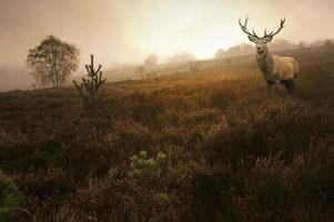 maschio dei cervi nobili nel paesaggio sbalorditivo di alba della foresta di autunno di caduta